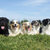 australiano · pastor · cão · amigos · jovem - foto stock © cynoclub