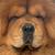 chow chow dog stock photo © cynoclub