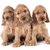 Welpen · Englisch · drei · Familie · Hund · Gruppe - stock foto © cynoclub