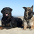rottweiler · resim · çoban · köpeği · oynama · portre - stok fotoğraf © cynoclub