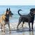 два · собаки · играет · пляж · войны · Stick - Сток-фото © cynoclub