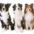 trzy · psów · studio · biały · psa · grupy - zdjęcia stock © cynoclub