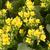 黄色 · ジューシーな · マクロ · ショット - ストックフォト © cynoclub