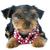 yorkshire · terrier · blanco · estudio · perro · feliz - foto stock © cynoclub