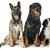rottweiler · szczeniak · biały · psa · tle · zwierząt - zdjęcia stock © cynoclub