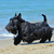 scottish terrier on beach stock photo © cynoclub