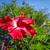 красный · гибискуса · цветок · изолированный · белый · любви - Сток-фото © daboost