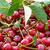 rouge · cerise · bol · vert · été · printemps - photo stock © dar1930
