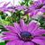 belo · violeta · margarida · flor · isolado · branco - foto stock © dar1930