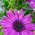 Purple · Ромашки · два · зеленая · трава · области · Blue · Sky - Сток-фото © dar1930