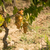tuscan grapes stock photo © dar1930