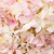 close up pink hydenyia stock photo © darkkong