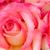 pink nicole rose stock photo © darkkong