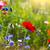 klaprozen · veld · stralen · zon · bloem · voorjaar - stockfoto © dashapetrenko