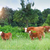 herd of cows at summer green field stock photo © dashapetrenko