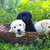 group of adorable golden retriever puppies in the yard stock photo © dashapetrenko