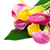 bunch of yellow and pink cala lilies stock photo © dashapetrenko
