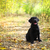 black labrador retriever puppy stock photo © dashapetrenko
