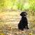 黒 · ラブラドル·レトリーバー犬 · 子犬 · かわいい · 見える - ストックフォト © dashapetrenko