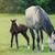 newborn baby horse with mother on the green grass stock photo © dashapetrenko
