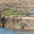 Common Greenshank (Tringa nebularia) asleep stock photo © davemontreuil