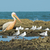a great white pelican pelecanus onocrotalus standing amongst s stock photo © davemontreuil