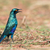 Greater Blue-eared Glossy Starling (Lamprotornis chalybaeus) sta stock photo © davemontreuil