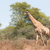 girafa · caminhada · secar · habitat · árvores · África - foto stock © davemontreuil