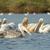 розовый · воды · птиц · плаванию · животного - Сток-фото © davemontreuil