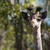 a baby giraffe portrait   head and neck stock photo © davemontreuil