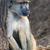 Geel · baviaan · vergadering · naast · boomstam · boom - stockfoto © davemontreuil