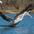 pink backed pelican lunging with its wings spread stock photo © davemontreuil