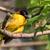 男性 · 村 · 繁殖 · 羽 · 鳥 · 頭 - ストックフォト © davemontreuil