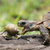 A Hinge tortoise form Malawi attacking a Giant African Land Snai stock photo © davemontreuil