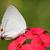 mavi · safir · kelebek · içme · nektar - stok fotoğraf © davemontreuil