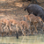 mixed group of impala aepyceros melampus and nyala tragelaph stock photo © davemontreuil