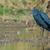 preto · língua · grama · pássaro · boca - foto stock © davemontreuil