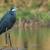 西部 · 鷺 · 立って · 浅い · 水 · 青 - ストックフォト © davemontreuil