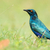 a greater blue eared glossy starling lamprotornis chalybaeus i stock photo © davemontreuil