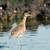 whimbrel in the tidal pools stock photo © davemontreuil