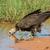 kapucnis · dögkeselyű · profil · áll · sáros · föld - stock fotó © davemontreuil