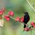 noir · couvert · branche · fleurs · Afrique · rose - photo stock © davemontreuil