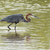 a goliath heron ardea goliath wading in shallow water stock photo © davemontreuil