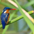 a malachite kingfisher alcedo cristata perched on a reed stock photo © davemontreuil