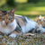 Tri colored house cat lying down on the lawn stock photo © davemontreuil