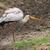 ooievaar · kikker · Bill · water · voedsel - stockfoto © davemontreuil