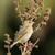 northern red bishop euplectes franciscanus stock photo © davemontreuil