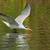 a caspian tern hydroprogne caspia gliding low over fresh water stock photo © davemontreuil