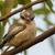 縞模様の · カワセミ · 鳥 · 美しい · いい · かなり - ストックフォト © davemontreuil