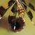 feminino · viúva · libélula · topo · ver · ocidente - foto stock © davemontreuil